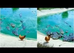 Enlace a Una gallina se pasea por delante de una jauría de cocodrilos
