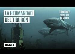 Enlace a ¿Los tiburones blancos interactúan entre ellos?