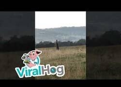Enlace a Dos canguros pelean por el territorio