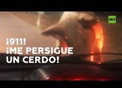 Enlace a Un cerdo intenta colarse dentro de un automóvil
