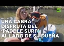 Enlace a Así es hacer pádel surf con una cabra