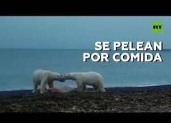 Enlace a Dos osos polares pelean por comida
