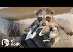Enlace a Reuniendo a una familia de mapaches