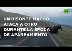 Enlace a El tremendo ataque entre dos bisontes en plena carretera