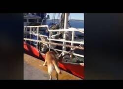 Enlace a Un perro ayuda a amarrar barcos en un puerto de Argentina