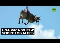 Enlace a Una vaca es transportada en helicóptero por traslado de ganado