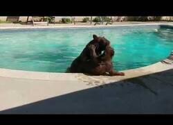 Enlace a Un osezno y su mamá pasan un agradable día en la piscina