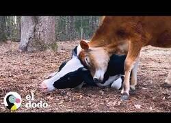 Enlace a Vaca rescatada encuentra una hermanita