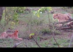 Enlace a Una leona le roba a cinco guepardos un impala que acababan de cazar