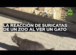 Enlace a La curiosa reacción de estos suricatos al ver un gato por primera vez