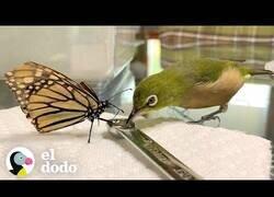 Enlace a Este pájaro entabla amistad con las mariposas