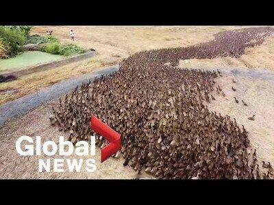 10.000 patos se encargan de limpiar campos de conreo