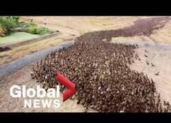 Enlace a 10.000 patos se encargan de limpiar campos de conreo