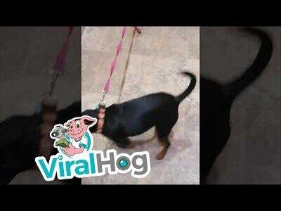 Un gato controla a 'su' perro para que no se pelee con otros