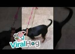 Enlace a Un gato controla a 'su' perro para que no se pelee con otros
