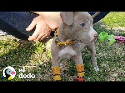 Cuidando de un cachorro sin patas delanteras