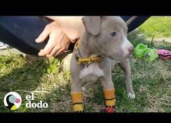 Enlace a Cuidando de un cachorro sin patas delanteras
