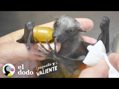 Así es cuidar de un murciélago bebé