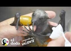 Enlace a Así es cuidar de un murciélago bebé