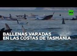 Enlace a Casi 300 ballenas quedan varadas en las costas australianas