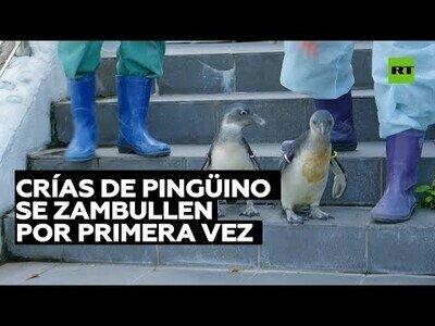 Así se zambullen por primera vez unas crías de pingüino
