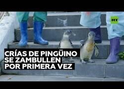 Enlace a Así se zambullen por primera vez unas crías de pingüino
