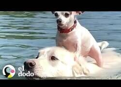 Enlace a Perro pequeño se sube a lomos de su gran amigo