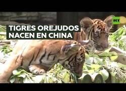 Enlace a Nacen tigres 'orejudos' en un zoo de China