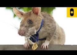 Enlace a Una rata es condecorada por salvar vidas detectando explosivos