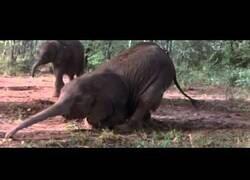 Enlace a Animales africanos emborrachándose con fruta fermentada del suelo