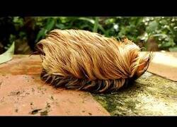 Enlace a Cuando llevas 2 meses sin lavar el peluquín (En realidad es una oruga peluda gigante)