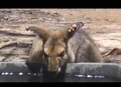 Enlace a Unos cuervos intentan echar de su bebedero a un canguro