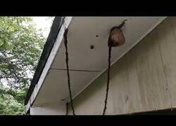 Enlace a Hormigas crean un increíble puente para atacar una colmena