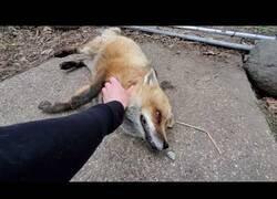 Enlace a El adorable sonido de un zorro cuando está contento