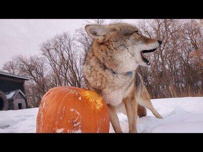 Un coyote juega con una calabaza de Halloween
