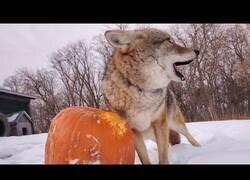 Enlace a Un coyote juega con una calabaza de Halloween