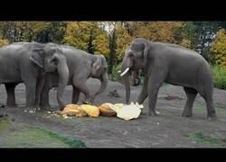 Enlace a Ver elefantes comer calabazas gigantes es todo un espectáculo