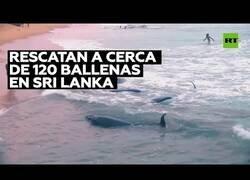 Enlace a Rescatando a un centenar de ballenas que quedaron varadas en la costa de Sri Lanka