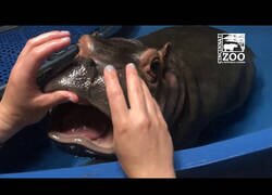 Enlace a Así se le practica un chequeo dental a un bebé hipopótamo