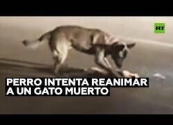 Enlace a Un perro intenta reanimar a un gato fallecido
