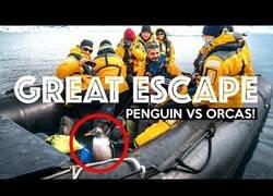 Enlace a Pingüino salta a un bote huyendo de una orca