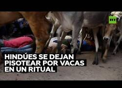 Enlace a Se dejan pisotear por 200 vacas en un ritual hindú