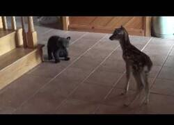 Enlace a Las crías de un oso y un ciervo se conocen por primera vez