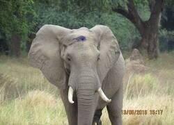 Enlace a Elefante sobrevive a disparo de cazador