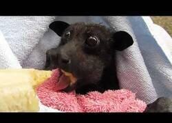 Enlace a Tan solo un murciélago engullendo un plátano