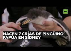 Enlace a Nacen polluelos de pingüino papúa en un acuario de Sidney