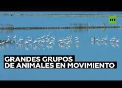 Enlace a Animales moviéndose en grupo es uno de los espectáculos más bellos que existen