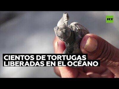 Liberan cientos de crías de tortuga al océano