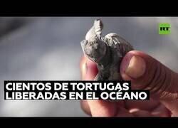 Enlace a Liberan cientos de crías de tortuga al océano