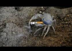 Enlace a Un cangrejo fuma un cigarro y otro intenta quitárselo